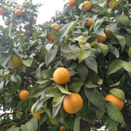Bitter orange fruits are very interesting for fragrance industries, where essential oils are very common used